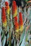 Orange Flowers on Aloe Succulent Plant Stock Photography