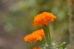 Orange flowers Stock Photos