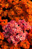 Orange flowers background Royalty Free Stock Photo