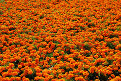 Orange flowers background. Bright colorful flower bed. Good for background stock images