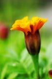 Orange flowers background Royalty Free Stock Photo