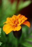 Orange flowers background Stock Photos
