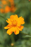 Orange flowers. Are so beautiful Stock Images