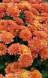 Orange flowers in bloom. Patch of colorful orange flowers in bloom Stock Photos