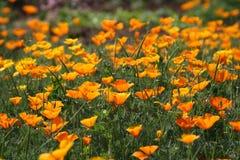Orange flowers in bloom. Scenic view of orange flowers blooming in field or meadow Stock Photos
