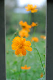 Orange flowers in bloom. Viewed from gap in fence Royalty Free Stock Photography
