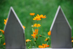 Orange flowers in bloom. Orange flowers blooming in garden framed by fence posts in foreground Royalty Free Stock Image