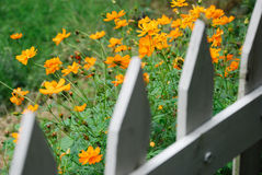 Orange flowers in bloom. With wooden fence in foreground Royalty Free Stock Photography