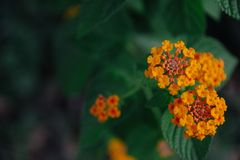Orange flowers are blooming beautiful. royalty free stock photos