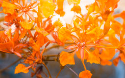 Orange flowers are blooming in garden. With vintage color tone Stock Photo
