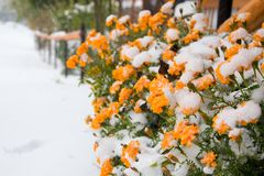 Flowers and snow Royalty Free Stock Photo