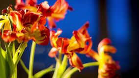Orange flowers on a blue background.  stock video footage