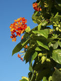 Orange flowers in blue sky Stock Photos