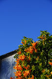 Orange flowers and blue sky Royalty Free Stock Photography