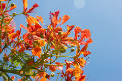 Orange flowers and Blue Sky. Orange flowers on Tree and Blue sky is background Royalty Free Stock Photos
