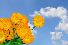 Orange flowers and blue sky Royalty Free Stock Images