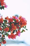 Orange flowers on branches Royalty Free Stock Photo