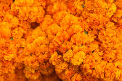 Orange flowers Stock Photography