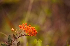 Orange flowers of butterfly weed Asclepias tuberosa royalty free stock photo