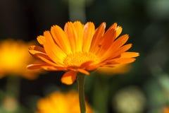 Orange flowers of calendula. Photographed close-up of orange calendula flowers, spring season Stock Photography