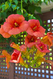 Orange flowers of a climbing plant in a garden. Stock Image