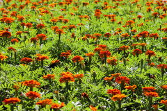 Orange flowers. Close-up of daisies growing in a park Stock Photo