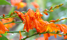 Orange Flowers Crocosmia with raindrops. Royalty Free Stock Photo