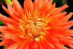 Orange  flowers dahlia closeup Royalty Free Stock Photography