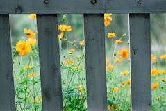 Orange flowers and fence. Blooming orange flower viewed through wooden fence Royalty Free Stock Images
