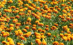 Orange flowers field Stock Image