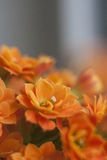 Orange flowers. Field of beautiful orange flowers Stock Image