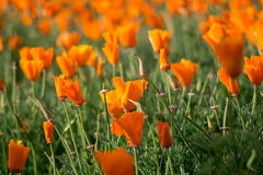 Orange flowers fields in blur backgrounds. Orange flowers in blur backgrounds Royalty Free Stock Images