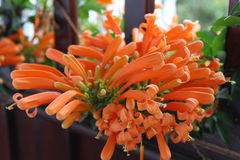 Orange flowers. Flores de la región montañosa de los andes en la cordillera central en Colombia Suramerica Royalty Free Stock Photography