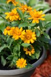 Orange flowers in a flower pot with green leaves. In the garden stock images