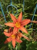 Orange flowers. Stock Photography
