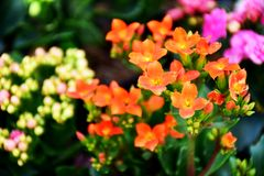 Orange flowers. And flowers Flowering is a distinctive bush in the middle of the garden, the natural beauty of flowers Royalty Free Stock Photos
