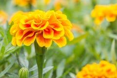 Orange flowers, French marigolds. Stock Images