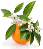 Orange with flowers Stock Images