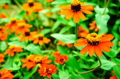 Orange flowers in the garden. At Thailand Stock Photography