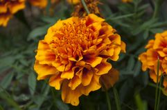Flower. Orange flowers in garden Royalty Free Stock Image