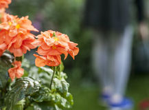 Orange flowers in a garden. This image shows a plant with some orange flowers Stock Image
