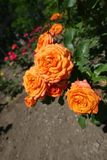 Orange flowers of rose in June. Orange flowers of garden rose in June stock photo