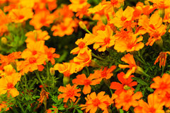 Orange flowers in the garden. Spring or summer background Royalty Free Stock Photography