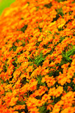 Orange flowers in the garden. Spring or summer background Royalty Free Stock Image
