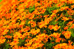 Orange flowers in the garden. Spring or summer background Stock Images
