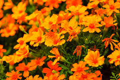 Orange flowers in the garden. Spring or summer background Stock Photos