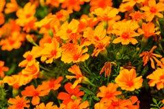 Orange flowers in the garden. Spring or summer background Stock Photos