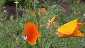 Orange flowers stock footage