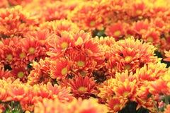 Orange flowers of gerbera Stock Image