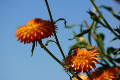 Orange flowers. Glow bright in the summer sun Royalty Free Stock Images